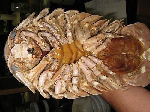 Bọ biển quy nhơn với vẻ ngoài giống bọ trên cạn